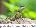 Green crested lizard 16627760