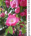 soil planting, climbing rose, rose 16630180