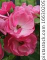 soil planting, climbing rose, rose 16630205