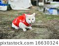 白貓 雨衣 藍色眼眸 16630324