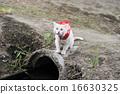 白貓 雨衣 藍色眼眸 16630325