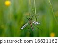 mosquito nematocera 16631162