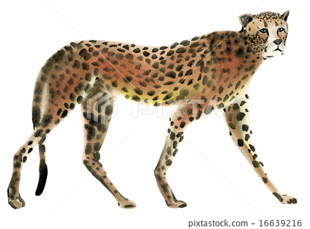 Watercolor illustration of a Cheetah 16639216