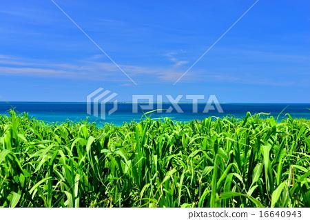 甘蔗 海 大海 16640943
