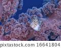 鱼 珊瑚 河豚 16641804
