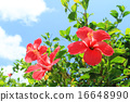 Hibiscus blooming in the blue sky of Okinawa 16648990