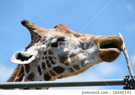 Giraffe 16666145