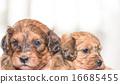 puppy 16685455