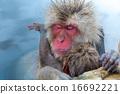 男性 男人 猴子 16692221