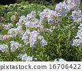 宿根 플록스의 흰 꽃 16706422