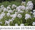 宿根 플록스의 흰 꽃 16706423