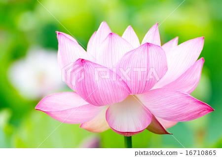 莲花品种(日本莲花) 16710865