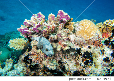 colorful ball puffer fish on the reef background 16714971