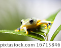 Flying Frog, Rhacophorus reinwardtii on colorful background 16715846