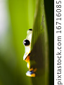 Flying Frog in the jungle on colorful background 16716085