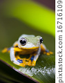 Exotic frog in indonesia, Rhacophorus reinwardtii on colorful background 16716109