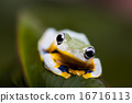 Exotic frog in indonesia, Rhacophorus reinwardtii on colorful background 16716113