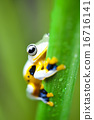 Exotic frog in indonesia, Rhacophorus reinwardtii on colorful background 16716141
