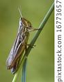 brown  chorthippus 16773657