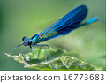 coenagrion puella on a leaf 16773683