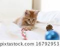 Cat Maine Coon  playing  Christmas decoratio 16792953