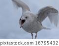 翩翩振翅 拍打 海鷗 16795432