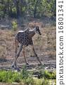 長頸鹿 澆水 熱帶大草原 16801341