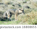 grey fox hunting on the grass 16808655