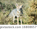 grey fox hunting on the grass 16808657