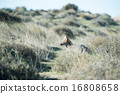 grey fox hunting on the grass 16808658