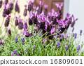 lavender flowers 16809601