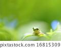 青蛙 樹蛙 一隻兩棲動物 16815309