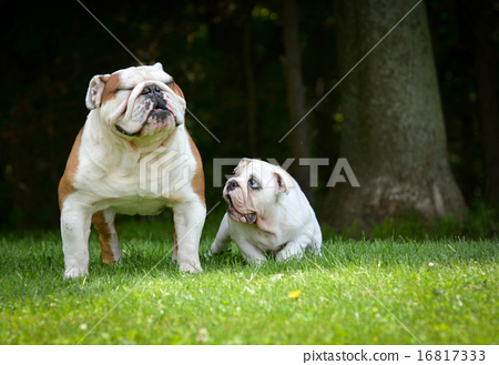 Stock Photo: puppy and adult dog playing