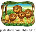 狮子 野生生物 肉食动物 16823411