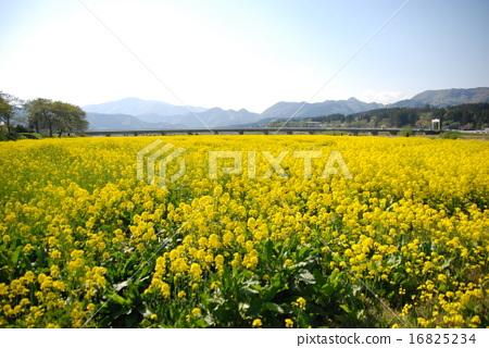 일면에 펼쳐지는 유채 꽃밭의 풍경 16825234