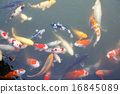 Lot of colorufl koi fishes in japanese garden 16845089