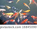 Lot of colorufl koi fishes in japanese garden 16845090