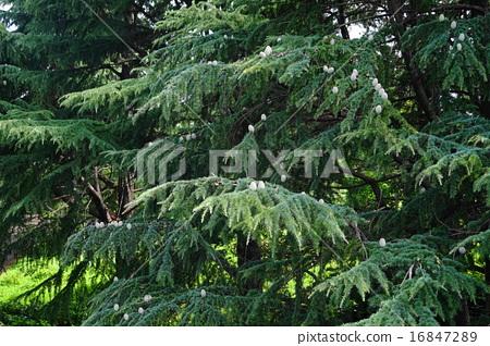 7 월 실제 삼목 · 소나무과 06 히말라야 시타 16847289