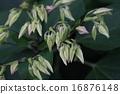 自然 植物 クサギ、蕾です。葉には強い殺菌作用があり民間薬として利用されるそうです 16876148