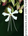自然 植物 クサギ、花には強い芳香があり大型のチョウやスズメガが吸蜜によく訪れるようです 16876289