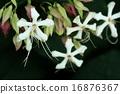 自然 植物 クサギ、花はたくさんつきますが順々に咲いてはしぼむので『盛り』が分かりづらい木です 16876367