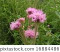 粉紅色的可愛花朵聞到了薊 16884486
