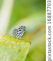 蝴蝶 昆蟲 芭蕉葉 16887703