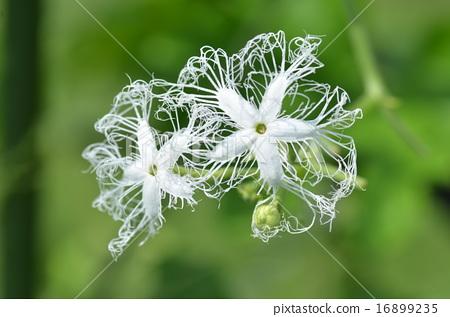Flower of a snake 16899235