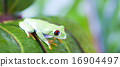 agalychnis, cute, frog 16904497