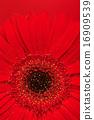 ดอกไม้บาน,เบ่งบาน,บานสะพรั่ง 16909539