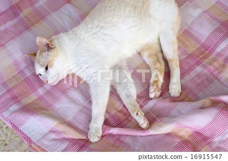 鬆散的貓(水平位置•從斜上方看) 16915547