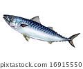 鯖魚 魚 藍魚 16915550