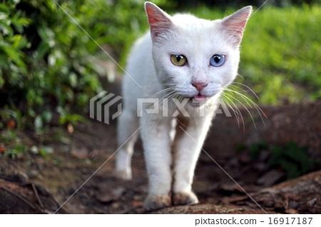 Oddai's white cat 16917187