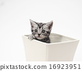 美國短毛碗一隻小貓 16923951
